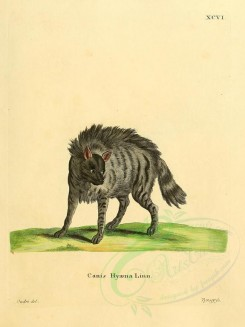 dogs_wolves_foxes-00107 - Striped Hyena [2304x3074]