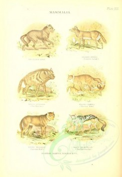 dogs_wolves_foxes-00110 - Prarie Wolf, Common Jackal, Hyena, Coal Fox, Common Wolf, Pied Mesomelas [2035x2954]