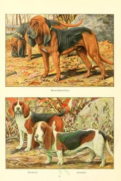 dogs_wolves_foxes-00113 - Bloodhounds, Beagle, Basset [1862x2770]