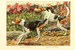 dogs_wolves_foxes-00120 - English Foxhound, American Foxhound [2770x1862]