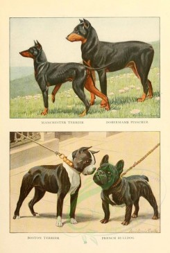 dogs_wolves_foxes-00127 - Manchester Terrier, Dobermann Pinscher, Boston Terrier, French Bulldog [1862x2770]