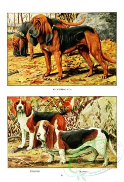 dogs_wolves_foxes-00191 - Bloodhound, Beagle, Basset