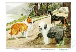 dogs_wolves_foxes-00195 - Collie, Old English Sheep-Dog, Smooth Collie