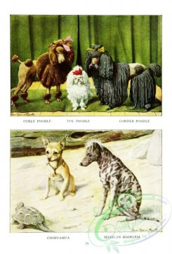 dogs_wolves_foxes-00196 - Curly Poodle, Toy Poodle, Corded Poodle, Chihuahua, Mexican Hairless