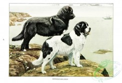 dogs_wolves_foxes-00207 - Newfoundland