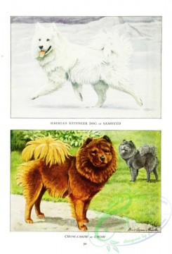 dogs_wolves_foxes-00217 - Siberian Reindeer Dog, Samoyed, Chow-chow, Chow