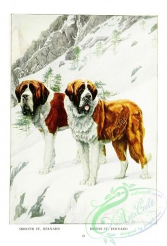 dogs_wolves_foxes-00218 - Smooth Saint Bernard, Rough Saint Bernard