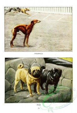 dogs_wolves_foxes-00220 - Whippet, Pug