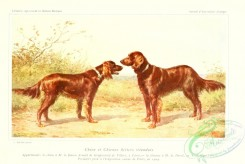 dogs_wolves_foxes-00223 - Irish Setter Dog