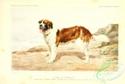 dogs_wolves_foxes-00225 - Saint Bernard Dog
