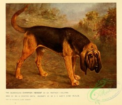 dogs_wolves_foxes-00279 - Bloodhound Dog