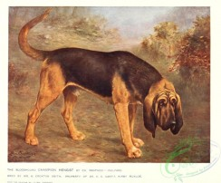 dogs_wolves_foxes-00291 - Bloodhound Dog