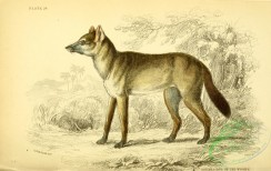 dogs_wolves_foxes-00314 - Aguara-Dog of the Woods