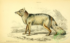 dogs_wolves_foxes-00333 - Magellanic Aguara Fox