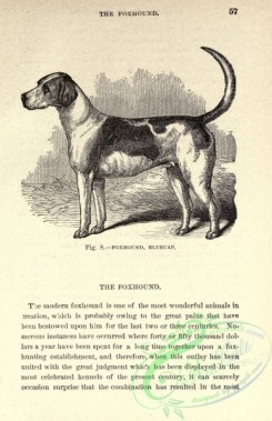 dogs_wolves_foxes-00512 - black-and-white 012-Foxhound Dog