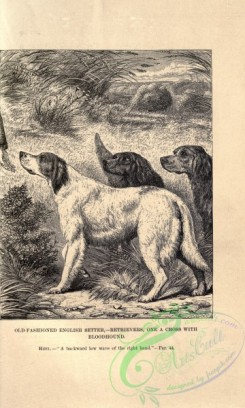 dogs_wolves_foxes-00888 - black-and-white 002-English Setter Dog