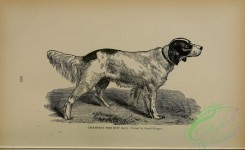 dogs_wolves_foxes-01045 - black-and-white Setter Dog