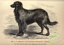 dogs_wolves_foxes-01190 - black-and-white 017-Wavy-coated Retriever Dog