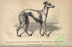 dogs_wolves_foxes-01227 - black-and-white 054-Italian Greyhound Dog