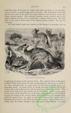 dogs_wolves_foxes-01357 - black-and-white 005-Black-backed Jackal