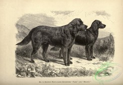 dogs_wolves_foxes-01470 - black-and-white 011-Wavy-coated Retriever Dog