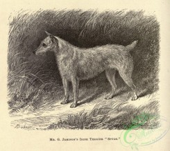 dogs_wolves_foxes-01497 - black-and-white 038-Irish Terrier Dog