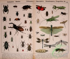 dragonflies-00023 - 002-Coleoptera, Beetles, Orthoptera, Neuroptera, Grasshoppers, Dragonflies