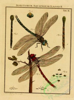 dragonflies-00028 - 022-Water Insects, Dragonfly