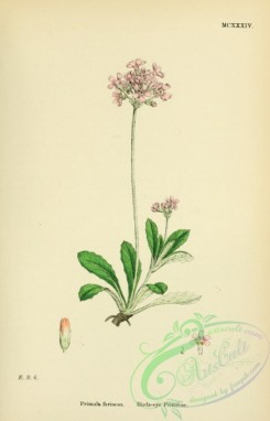 english_botany-00008 - Birds-eye Primrose, primula farinosa