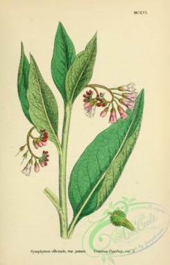 english_botany-00034 - Common Comfrey, symphytum officinale patens