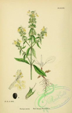 english_botany-00114 - Pale Annual Woundwort, stachys annua