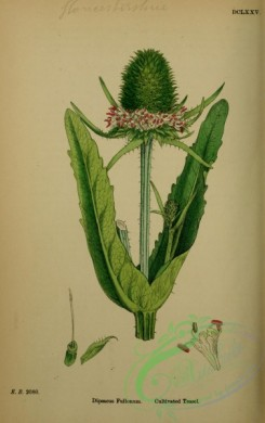 english_botany-00210 - Cultivated Teasel, dipsacus fullonum