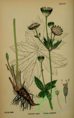 english_botany-00240 - Greater Astrantia, astrantia major