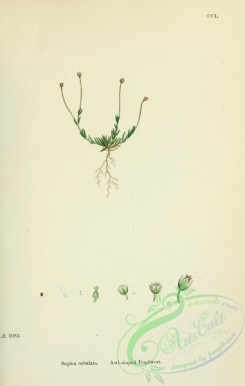 english_botany-00355 - Awl-shaped Pearlwort, sagina subulata