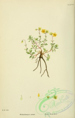 english_botany-00419 - Hoary Rock-Rose, helianthemum canum