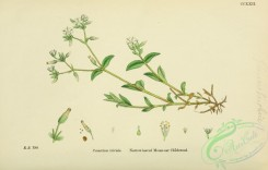 english_botany-00449 - Narrow-leaved Mouse-ear Chickweed, cerastium triviale