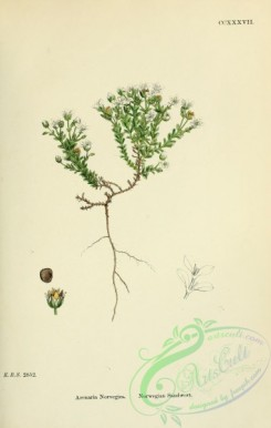 english_botany-00451 - Norwegian Sandwort, arenaria norvegica