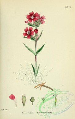 english_botany-00465 - Red German Catchfly, lychnis viscaria