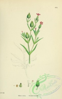english_botany-00492 - Striated Catchfly, silene conica