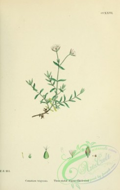 english_botany-00497 - Three-styled Alpine Chickweed, cerastium trigynum
