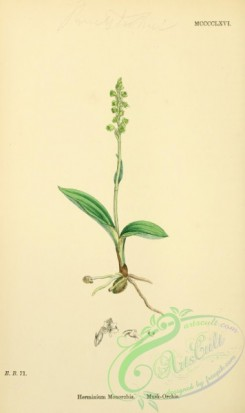 english_botany-00621 - Musk-Orchis, herminium monorchis