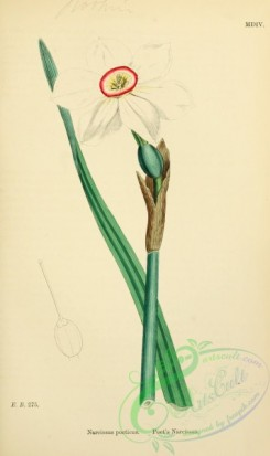 english_botany-00630 - Poet's Narcissus, narcissus poeticus