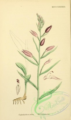 english_botany-00635 - Red Helleborine, cephalanthera rubra