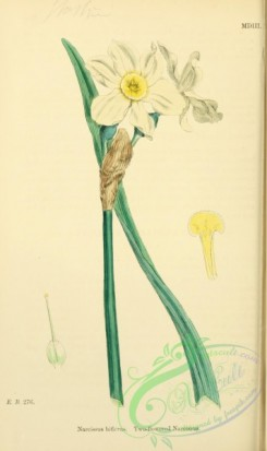 english_botany-00663 - Two-flowered Narcissus, narcissus biflorus