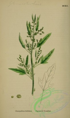english_botany-00774 - Fig-leaved Goosefoot, chenopodium ficifolium