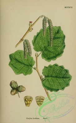 english_botany-00795 - Hazel, corylus avellana