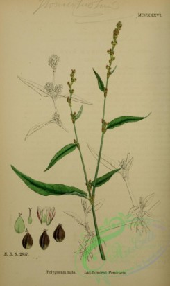 english_botany-00802 - Lax-flowered Persicaria, polygonum mite