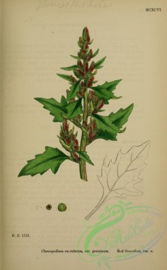 english_botany-00832 - Red Goosefoot, chenopodium eu-rubrum genuinum