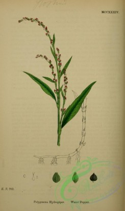 english_botany-00881 - Water Pepper, polygonum hydropiper