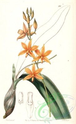 epidendrum-00095 - Prosthechea vitellina (as Epidendrum vitellinum )